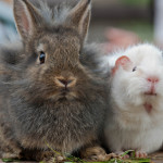 rabbitsguinea
